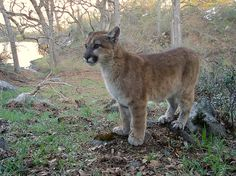 Simba californica by randomtruth, via Flickr - camera trap photo. That is one ludicrously adorable little mountain lion.