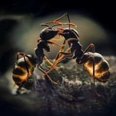 The light-ing on these fighting ants is truly scary.  May it be a photographer's trick effect!