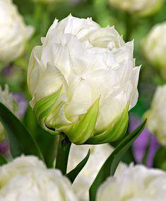 Tulip 'Ice Age' | Flower Bulbs from Bakker Spalding Garden Company