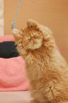 ...and a one, two, three, stretch! An orange Persian kitty does the stretch.