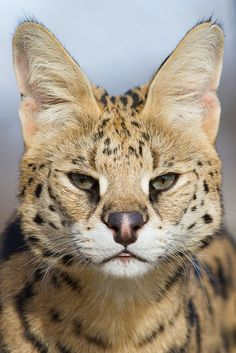 """"""" Serval Portrait by Mark Dumont """" """" Crazy Cats, Big Cats, Cats And Kittens, Cute Cats, Beautiful Cats, Animals Beautiful, Animals And Pets, Cute Animals, Grand Chat"""