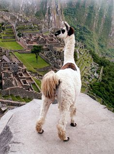 "Llamas love archaeology!  Here this llama gives tours of Machu Picchu. ""Over there is where they kept the Guinea pigs.... taste like chicken!"""