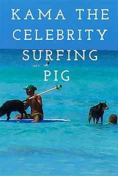 That's a black pig surfing I said to my husband, and then instantly wondered if I had gone mad!  We were out in the waters off Waikiki Beach, mingling again amongst the surfers, board riders, outriggers, snorkellers and swimmers …..and today also a dog and a pig!