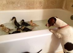Fascinated by ducklings in the bathtub!
