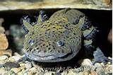 Picture of an axolotl, Ambystoma mexicanum , Mexican salamander.