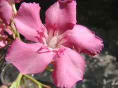 OLEANDER HAUS  Nerium Oleander Gotsis Astraios Nerium, Rose, Flowers, Plants, Inspiration, Gardening, House, Biblical Inspiration, Floral