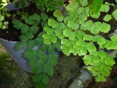 Adiantum capillus-veneris (Southern Maidenhair or Venus Hair Fern) XX