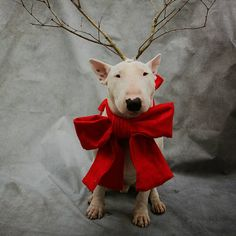 Christmas is Merrier with a Bull Terrier...