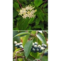 $5.95 - Silky Dogwood Shrub Cornus amomum Height: 9' Zones: 3 to 9 Sun Exposure: Full sun