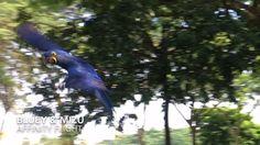 Affinity Flight: Bluey the Hyacinth Macaw clearing advance obstacle training. 😊 #hyacinthmacaw #flyingparrots #parrots #macaws #loro #guacamaya #papagaio #papegøje #papegaai #papagei #pappagalli #papuga #Попугаи #papağan #鸚鵡  #affinityflight #parrot #macaw #guacamayo #arara #perroquet #papagaj #pappagallo #papegøye #Попугай #papegoja #ببغاء #オウム#앵무새 #طوطی