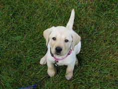 This adorable Guiding Eyes pup is wishing everyone a Happy Weekend!