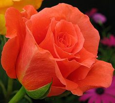 Coral Colored Rose Bud - vma.
