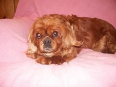 Rosaliee is an adoptable Cavalier King Charles Spaniel Dog in Oakdale, MN. Rosaliee is a beautiful 8 year old sweetheart. She is a doll and is sure to win your heart over. She cannot wait to find her ...