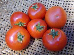 Forest Fire Tomato -extra early tomato 45-50 days!