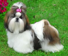 "CH. Mr. Foo's 2 Hot 2 Handle ""Hannah"" is modeling a pink satin dog bow with Valentines hearts from Doggie Bow Ties Dog Bows!"