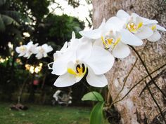 Orchids growing on the side of a tree in Puerto Princesa, Palawan, Philippines
