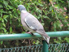 Pigeon in Helsingborg Sweden