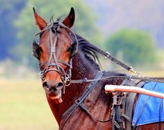 Standardbred Horse