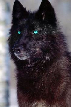 Black Wolf with blue eyes Aka How I picture Derek Hale in wolf form