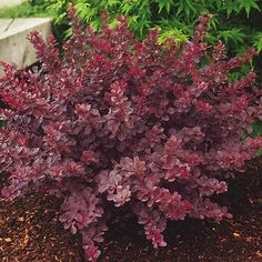 Barberry 'Royal Burgundy' or any red barberry is another colorful foliage addition to your yard. Garden Shrubs, Succulents Garden, Garden Paths, Gothic Landscape, Landscape Designs, Barberry Bush, Grass Alternative, Evergreen Bush, Purple Plants