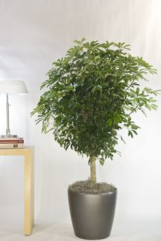 Arboricola Standard or Umbrella Tree