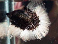 i LOVE this betta fish!!  Another fresh water fish worthy of Ocean Life post :)