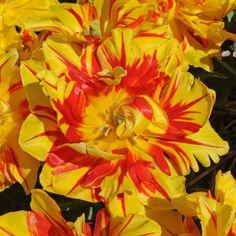 Jede Zwiebel der Tulpe 'Monsella' bildet eine größere und 2 bis 3 kleinere gefüllte Blüten in Gelb und Rot - ein wunderbarer Farbentepppich für den Frühlingsgarten. Pflanzzeit ist im Herbst - online bestellen bei fluwel.de