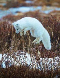 ARCTIC FOX....aka the white fox or snow fox.....found on tundra in Alaska, northern Canada, Greenland, northern Europe and northern Asia....measures 21 - 22 inches long with a 12 inch tail....has the warmest pelt of any animal found in the Arctic....can endure temperatures as low as -50ºC before their metabolisms increase to provide extra warmth