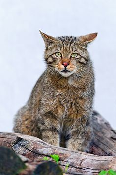 Cute wild cat on the wood