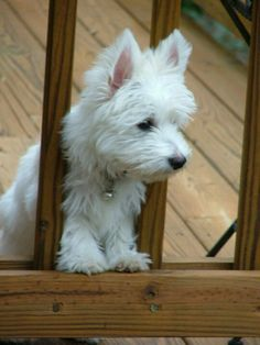 From Cascading Westies of Georgia.  Makes me smile...soooo cute!  But also makes me miss my Westie