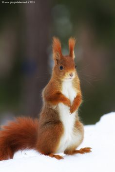 Red squirrel by Giorgio Debernardi - So freaking cute... If one dies of natural causes I would like it stuffed and dressed like Ron Weasley. Please and thank you.