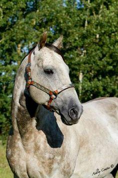 Oh Tao Tie. Quarter Horse.