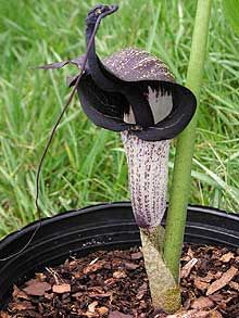 Arisaema thunbergii ssp. urashima, another Cobra Lily in striking black and white. There is a cultivar of this subspecies, 'Silver Seas', that has silver-splashed leaves instead of the usual green.
