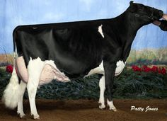 Dairy Cow Holstein. Yup, I want this show cow.