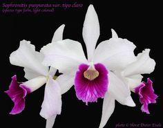 Cattleya purpurata var. tipo claro