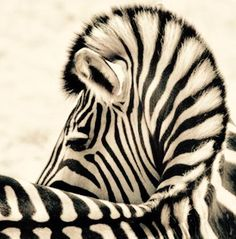 """""""I'm a zebra. No one onows what i do but i look pretty cool. Am i white or black?"""" - we love the earth, lil dicky Animals And Pets, Baby Animals, Cute Animals, Strange Animals, Wildlife Photography, Animal Photography, Beautiful Creatures, Animals Beautiful, Zebra Art"""