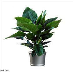 38 Best Indoor Tropical Plants Images Indoor Tropical 640 x 480