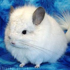 White Chinchilla. I miss my white Chins. :o(