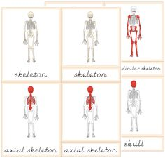 The Helpful Garden: Parts of the Skeleton Nomenclature Cards with Blackline Masters