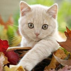 "* * "" Me beez a cream tabby ands luv Autumn as it'z me firsts one...... den me hear der comes 'Ole Man Winter.' Wonder who DAT be ?"""