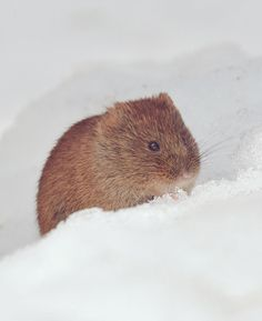 The Hokkaido crying rabbit, or ezo naki usagi, is a local subspecies of the Northern Pika, an adorable critter that lives throughout northern Japan and northern Asia.