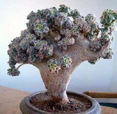 Aeonium 'Sunburst' f. Small Succulent Plants, Succulent Bonsai, Succulent Gardening, Cactus Plants, Garden Plants, Indoor Plants, House Plants, Succulents In Containers, Cacti And Succulents