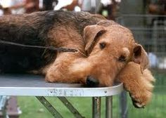 Such a sweet Airedale taking a rest, look at ths darling face and adorable eyes