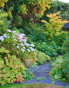 Rodgersia, Hydrangea near an entry of path.