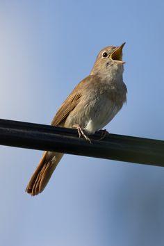 Common nightingale - Wikipedia Nightingale Bird, Art Nouveau Tattoo, National Animal, National Symbols, Adriatic Sea, Animal 2, Beautiful Songs, Zoology, Dark Fantasy