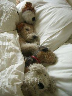 A sleeping Wire-hair Fox Terrier Fox Terriers, Perro Fox Terrier, Wire Fox Terrier, Wheaten Terrier, Cute Puppies, Cute Dogs, Dogs And Puppies, Doggies, Funny Dogs