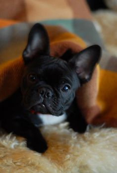 i swear there is nothing cuter than a wrinkly dog... perfect example! a frenchie!