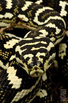 Diamond Jungle Jaguar Sibling,(Carpet python)