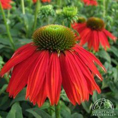 Indoor Flowering Plants, Garden Plants, Pot Plante, My Secret Garden, Garden Inspiration, Shrubs, Perennials, Planting Flowers, Beautiful Flowers