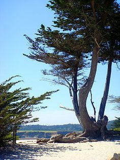 Monterey Bay Area to do, eats, sleeps// cypress tree on a beach in Carmel-by-the-Sea // Pacific Grove // Pebble Beach // Seaside // Sand City, CA // Northern California Monterey Cypress, Monterey County, Monterey Bay, Carmel Beach, Carmel By The Sea, Places To Travel, Places To Visit, Sf Travel, Viajes